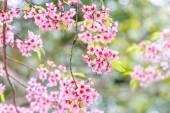 Vilda himalayan cherry — Stockfoto