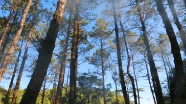 Pine forest with sunlight and blue sky — Stock Video