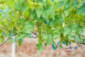 Branch young grapes — Stock Photo