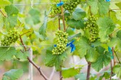 Branch young grapes — Fotografia Stock