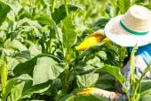 Thai woman put Insecticide and fertilizer in tobacco plant — Stock Photo