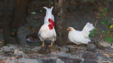 Белый петух и курица — Стоковое видео