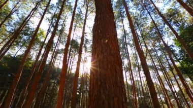 Pine forest with sunlight — Stock Video