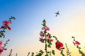 Hollyhock flower garden with sunset sky and plane — Stock Photo