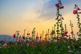Hollyhock flower garden with sunset sky — Stock Photo