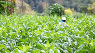 Thai woman put Insecticide and fertilizer in tobacco plant — Video Stock