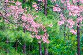 Selvagem do Himalaia cereja flor de primavera — Fotografia Stock
