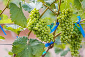 Branch young grapes on vine in vineyard — Stock Photo