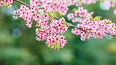 Fiore di primavera selvaggia himalayan ciliegio — Foto Stock