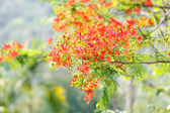 Caesalpinia pulcherrima flower — Stock Photo