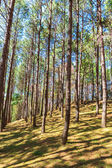 Pine forest with sunrise — Stock Photo