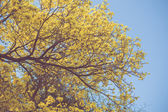 Yellow tabebuia spring blossom in vintage retro tone — Stock Photo