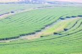 Green tea field plantation — Stock Photo