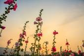 Hollyhock flower garden — Stock Photo