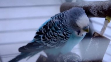 Blue parakeet — Stock Video