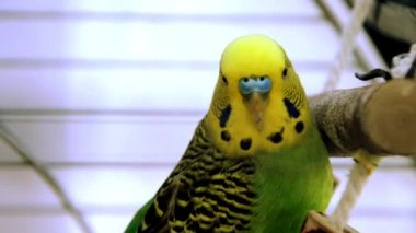 Parakeet yellow and green — Stock Video