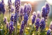 Beautiful purple wild flower in sunset sun — Zdjęcie stockowe