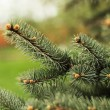 Closeup view of a bright green spruce tree branches and needles. — Stock Photo #70663829