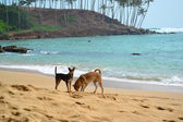 Two Dogs Digging a Hole On the Ocean Beach Shot. — Stock Photo
