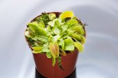 Flytrap on plain  background — Stock Photo