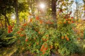 Rowan bush on a sunny sky — Stock Photo
