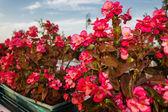 Begonia succulent flowers — Stock Photo