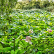 Постер, плакат: Lotus green area pond