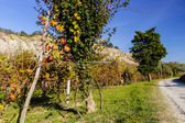 Autumnal Vineyards on badlands — Stock Photo