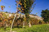 Autumnal Vineyards on badlands — Stock Photo