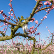 Blossoming peach trees treated with fungicides — Stock Photo #70530845