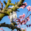 Blossoming peach trees treated with fungicides — Stock Photo #70530935