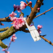 Blossoming peach trees treated with fungicides — Stock Photo #70531175