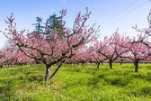 The arrival of spring in the blossoming of peach trees treated w — Stock Photo