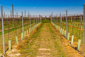 Newly planted orchards organized into rows  — Stock Photo