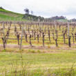Peaceful Vineyards on rolling hills — Stock Photo #71926615