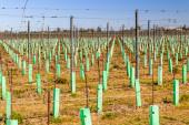 Nouvellement plantée de vergers organisés en lignes — Photo