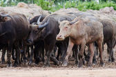 Buffalo herd — Stock Photo