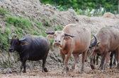 Büffel-herde — Stockfoto