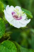 Fetid passionflower — Stock Photo