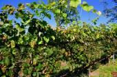 Goshen, CT: Sunset Meadows Vineyards — Stock Photo