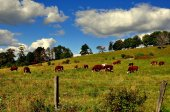 Spencertown, NY: Grazing Cows — Stock Photo
