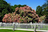 Rockingham, VT: Meeting House Burial Ground with Hydrangea Tree — Stock Photo