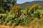 Williamstown, MA: Goldenrod and Asters Scenic — Stock Photo