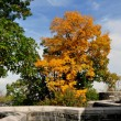 NYC: Colourful Autumnal Tree at the Cloisters Museum — Stock Photo #56901829
