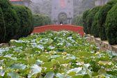 Chengdu, China: Lotus Flowers at Sichuan University — Stock Photo
