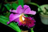 Penang, Malaysia: Cattleya Orchid — Stock Photo