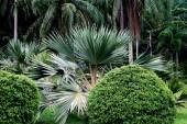 Penang, Malaysia: Palmettos at Botanic Gardens — Stock Photo