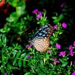 Batu Ferringhi, Malaysia: Butterflies — Stock Photo #67820661