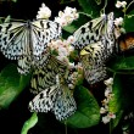 Batu Ferringhi, Malaysia: Butterflies — Stock Photo #67820707