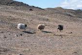 Three sheep in Iceland — Stock Photo